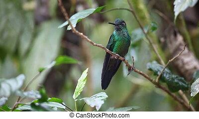 briljant, green-crowned, mannelijke