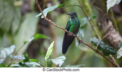 brillant, green-crowned, mâle