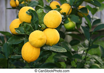 brillante, amarillo, limones, meyer