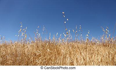 brillante, dorado, campo de trigo, con, un, hermoso, cielo