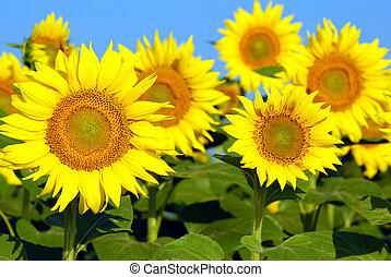 brillante, girasoles, amarillo