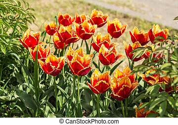 brillante, primavera, tulipanes