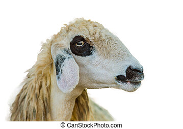 Brillen Schaf Sheep Face Isolation On White With Clipping Path