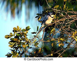 Brilliant Blue Jay