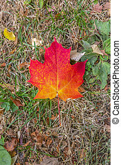 Brilliant maple tree leaf on a grassy ground