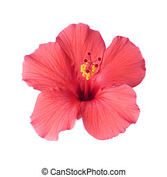 Brilliant or San Diego Red, a type of Tropical Hibiscus; Focus on Pistil