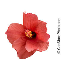 Brilliant or San Diego Red, Tropical Hibiscus; isolated, focus on Pistil