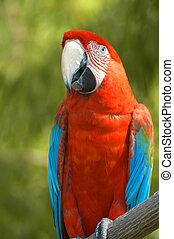 Brilliant Rainbow McCaw sits on a limb against a green ...