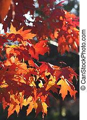Brilliant Red Maple