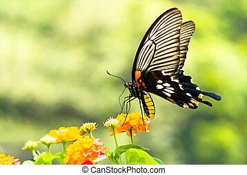 Brilliant swallowtail butterfly feeding on flowers in garden