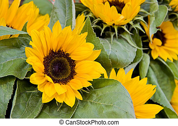 Brilliant Yellow Sunflowers