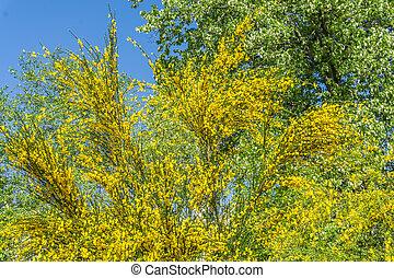 Brilliant Yellow Tree Flowers