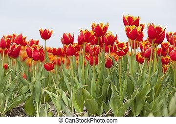 brims, vibráló, holland, sárga terep, tulipánok, piros