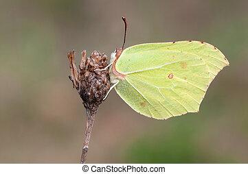 brimstone - a closeup of a single brimtone butterfly