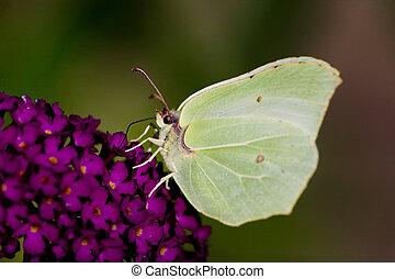 Brimstone Butterfly - Brimestone Butterfly - Gonepteryx...