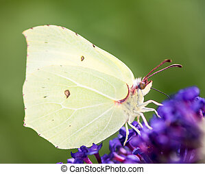 Brimstone Butterfly - Brimstone butterfly on the blossoms of...