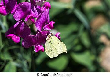 Brimstone butterfly closeup - Closeup of a beautiful...