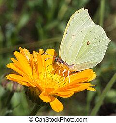 Brimstone butterfly closeup drinking nectar from orange...