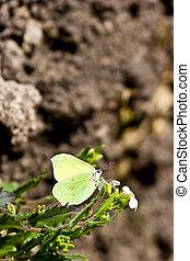 Brimstone butterfly (Gonepteryx rhamni) against blurry soil pattern