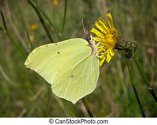 Brimstone butterfly (Gonepteryx rhamni) sucking nectar on...