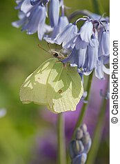 Brimstone butterfly - Light and shadow on a brimstone...