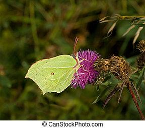 Brimstone Butterfly nectaring