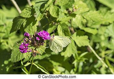 Brimstone butterfly on a carnation - Brimstone Butterfly in...