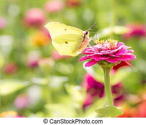 Brimstone Butterfly on a flower blossom - Brimstone...