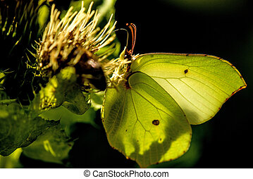 brimstone butterfly on a flower of a cabbage thistle