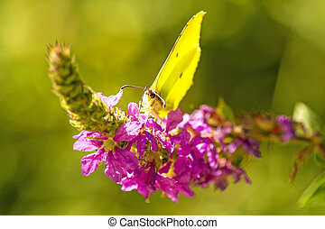 brimstone butterfly on a flower of a purple loosestrife