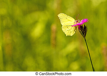 brimstone butterfly on a flower of Carthusian Pink
