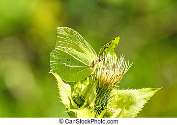 brimstone butterfly on a flower of