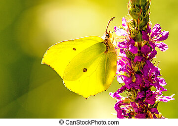 brimstone butterfly on a flower of purple loosestrife