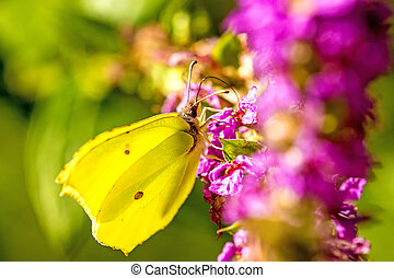 brimstone butterfly on a flower