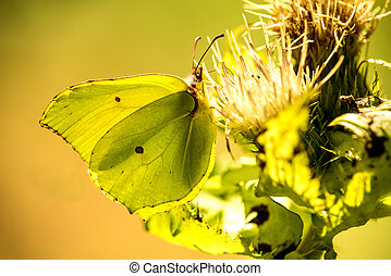 brimstone butterfly on a thistle flower