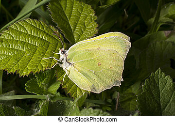 Brimstone butterfly on bramble leaf