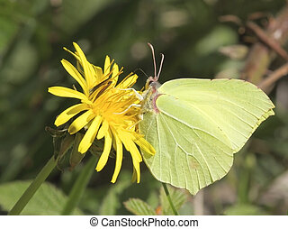 brimstone butterfly on dandelion flower