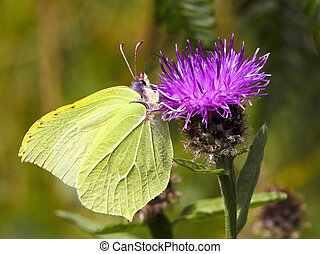 brimstone butterfly on flower