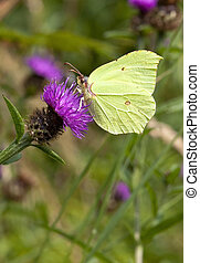 brimstone butterfly on knapweed - fauna and flora image of a...