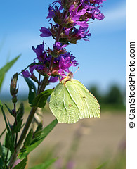 Brimstone butterfly on loosestrife