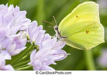 Brimstone butterfly perched on a purple flower