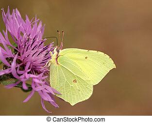 Brimstone butterfly sitting on a cornflower meadow