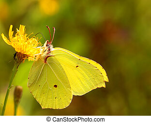 Brimstone butterfly sitting on a yellow flower