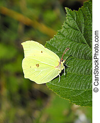 Brimstone Butterfly - Male Brimstone (Gonepteryx rhamni ) or...