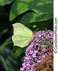 Brimstone Butterly - A female Brimstone butterfly feeding on...