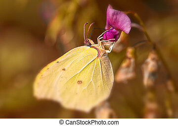 Brimstone - Gonepteryx rhamni collecting nectar - macro shot