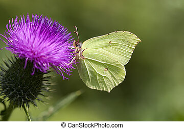 Brimstone - thistle - Brimstone when collecting nectar on a...