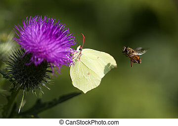 Brimstone - thistle - hoverfly - Brimstone butterfly on a...