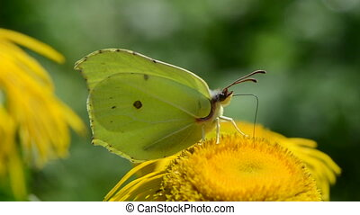 Brimstone yellow butterfly on blossoming elecampane flower...