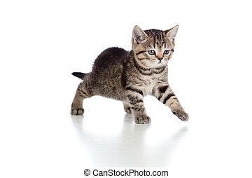 brincalhão, breed., brittish, tabby., kitten.